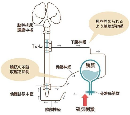 磁気刺激が尿失禁治療に働くメカニズム